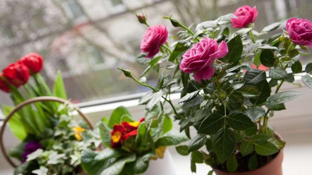 muttertagsgeschenk pflegen rosen im topf brauchen licht wohnen. Black Bedroom Furniture Sets. Home Design Ideas