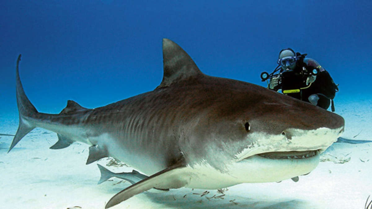 Gefährlichster Hai